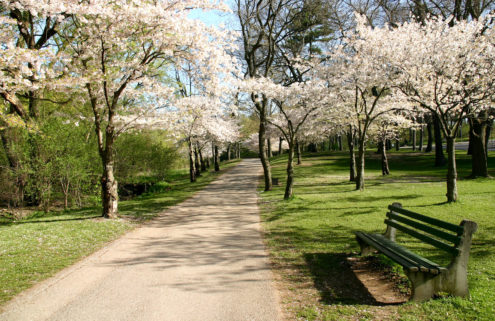 Missing the cherry blossom? You can live-stream it from Toronto