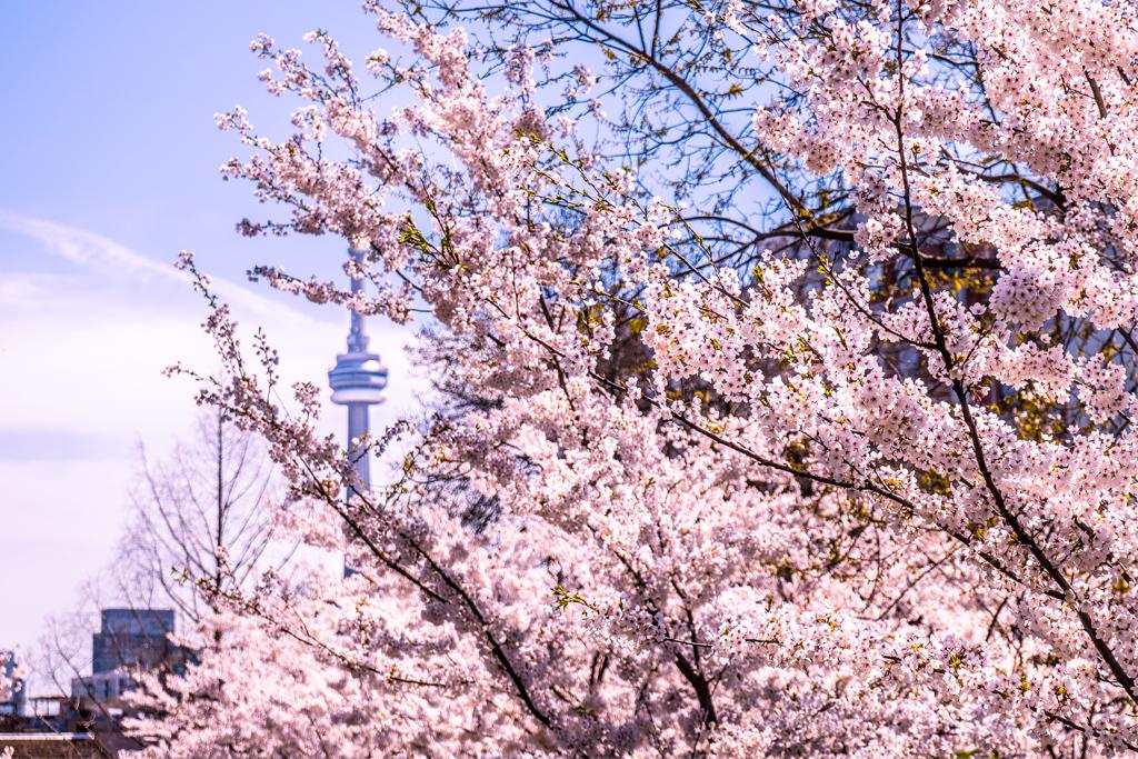 Blossomwatch Live Stream Cherry Blossom Into Your Living Room